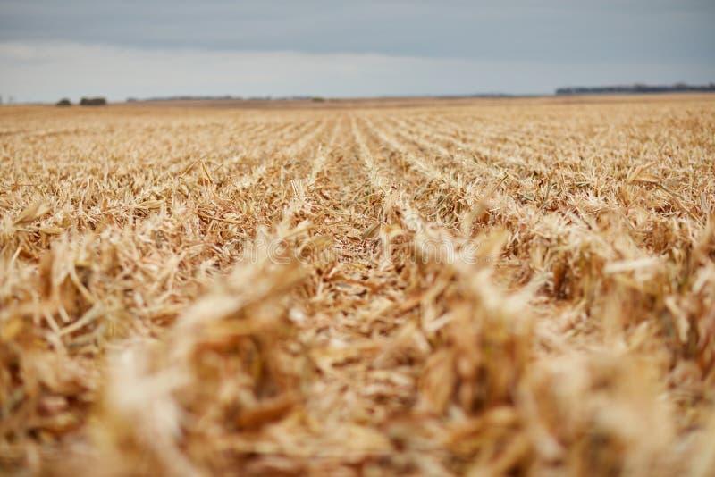 Filas del retroceso del rastrojo del maíz durante la cosecha imagen de archivo libre de regalías