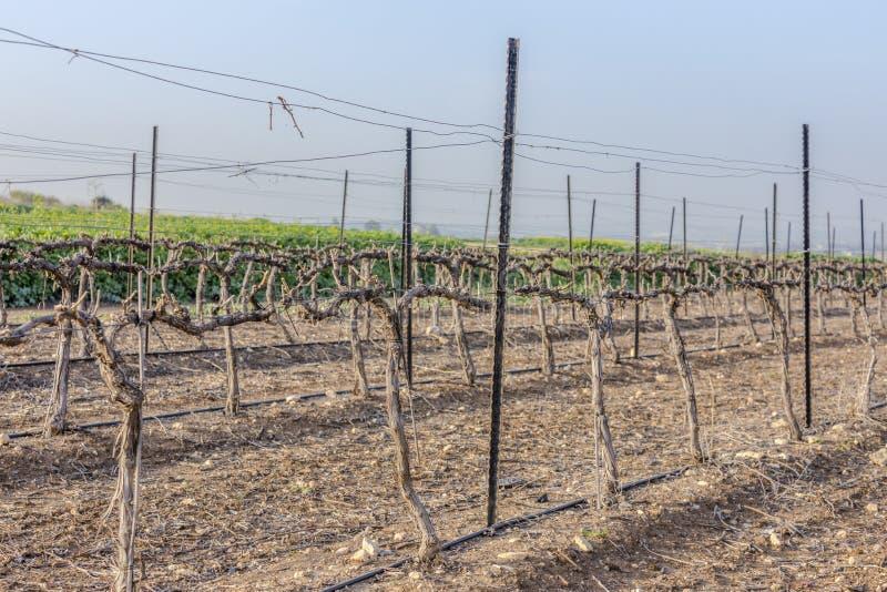 Filas del viñedo de madera seco en el invierno con la tierra desnuda imágenes de archivo libres de regalías
