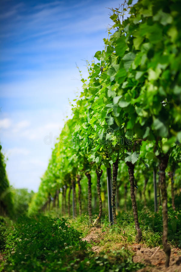 Filas del viñedo en Alemania imagen de archivo