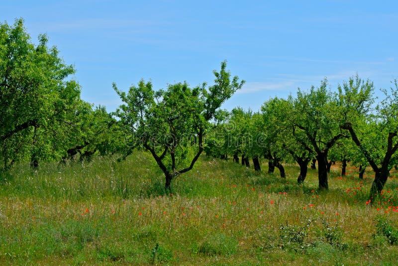 Filas rectas de los árboles de almendra de la fruta con la hierba y las amapolas debajo de ellas foto de archivo libre de regalías