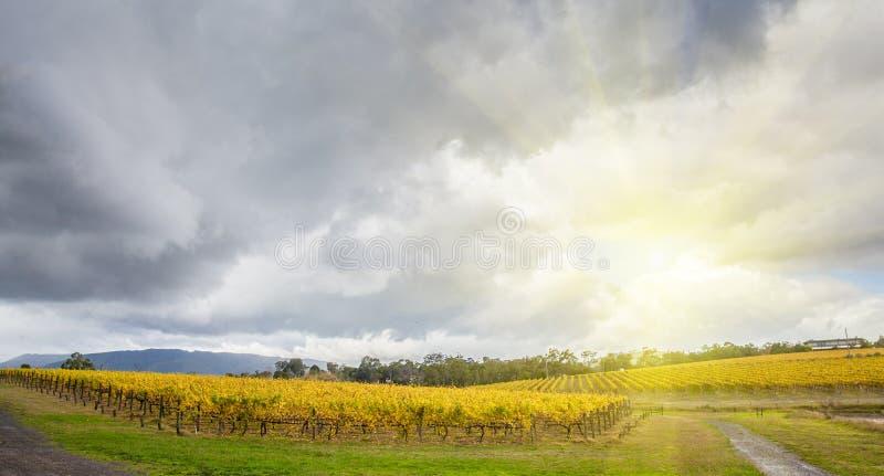 Filas sin fin de vides en el viñedo en el valle de Yarra, Australia adentro foto de archivo
