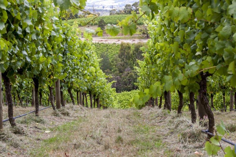 Filas verdes rectas de las vides de uva Valle del vino en Barossa, sur de Australia Imagen ascendente cercana de la vid foto de archivo libre de regalías