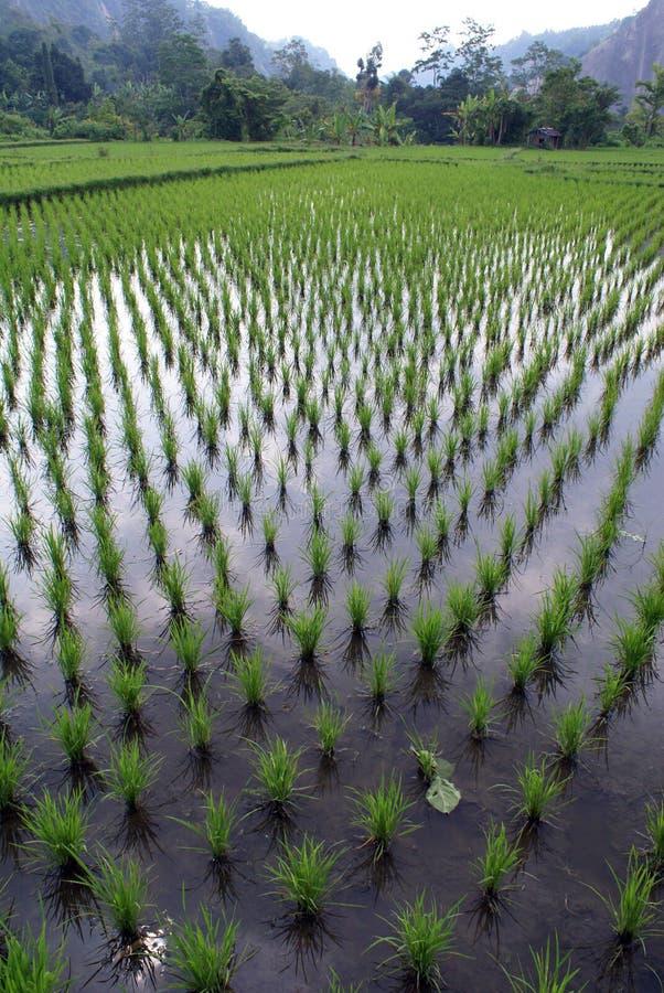 Filas y arroz verde foto de archivo libre de regalías