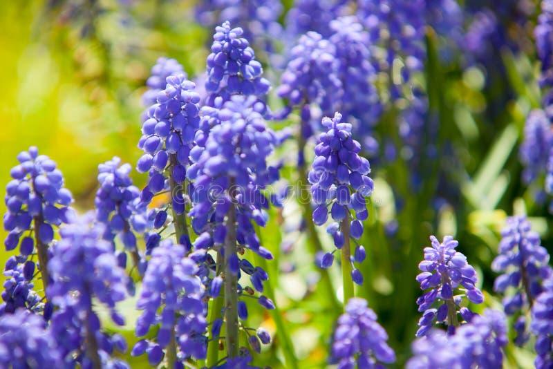 Fild av lila blommor royaltyfria foton