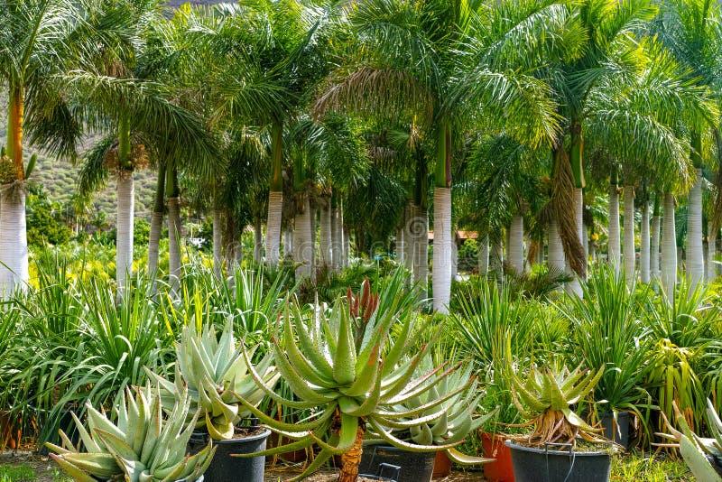 File degli alberi del cocco e della crassulacee differente sulla vendita nel negozio del giardino, in piante domestiche ed in pia immagini stock