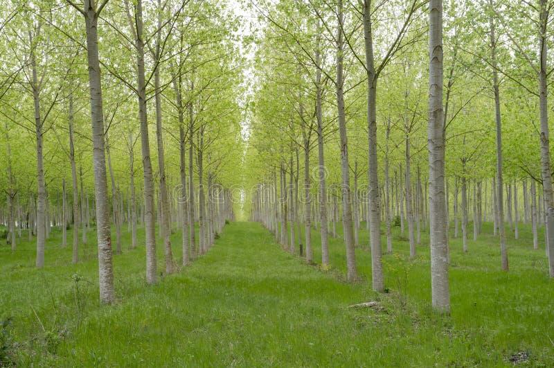 File degli alberi immagine stock