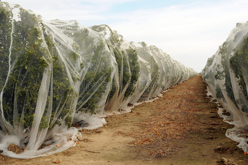 File degli aranci sotto il reticolato immagine stock
