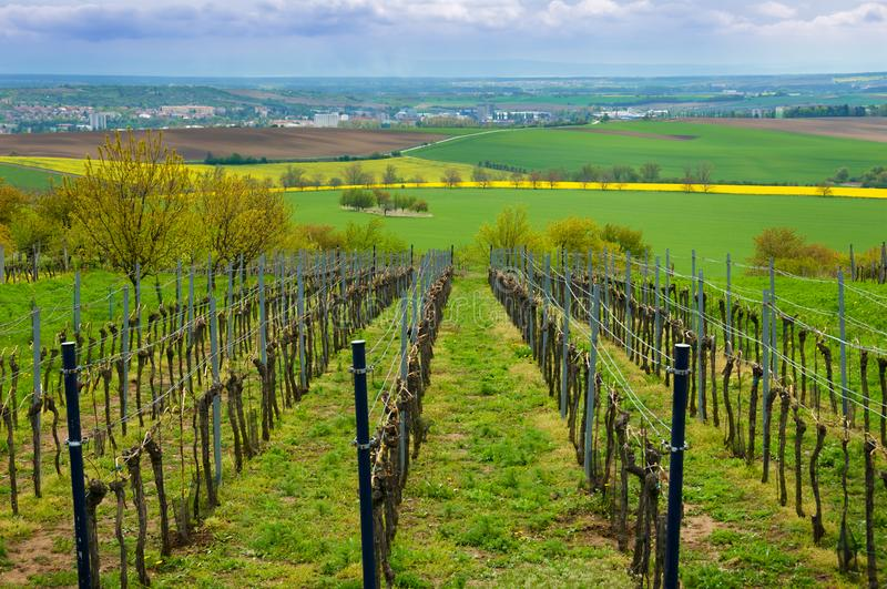 File delle vigne di estate, regione del sud di Moravian, Ceco Republ fotografia stock