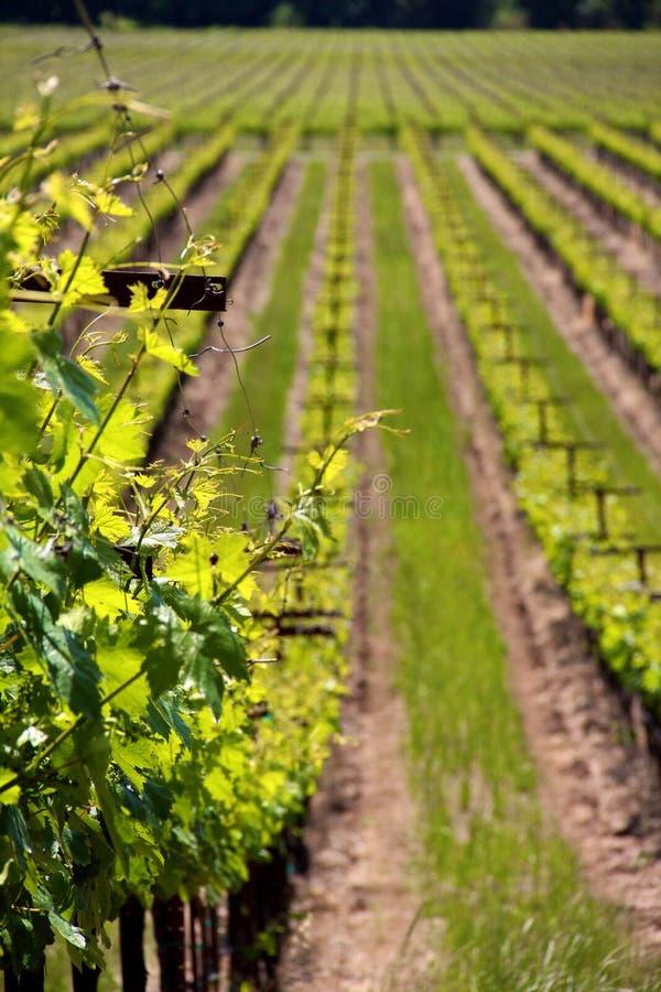 File delle viti ad una vigna in Sonoma California immagine stock
