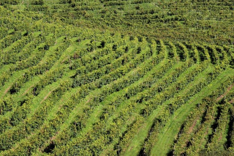 File delle viti nelle colline di Prosecco, Italia immagini stock
