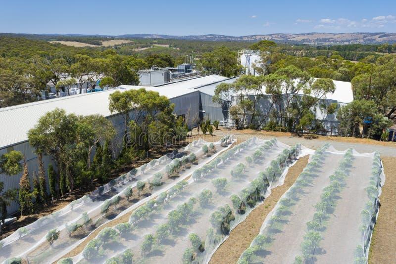 File delle viti protettive con il reticolato dell'uccello nell'Australia Meridionale fotografia stock libera da diritti