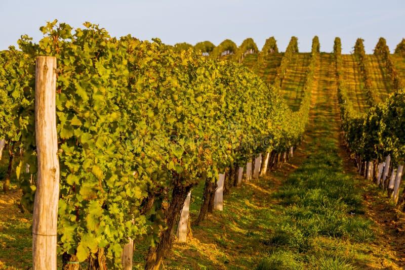 File delle viti sulla collina fotografia stock