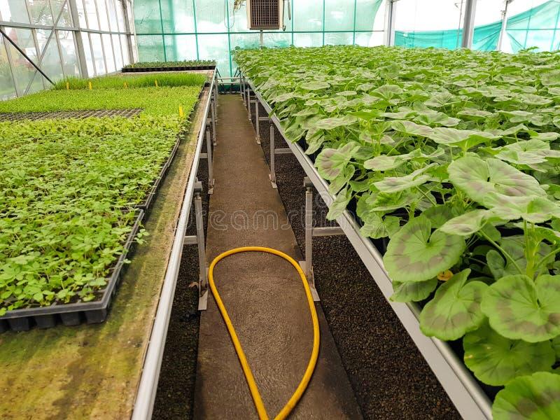 File di crescita delle piante Agricoltura industriale immagine stock libera da diritti