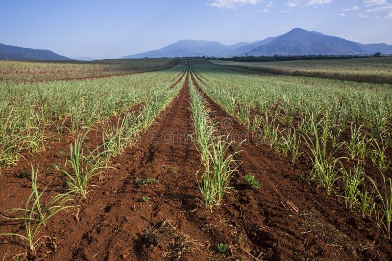 File di Sugar Cane di recente piantato fotografia stock libera da diritti