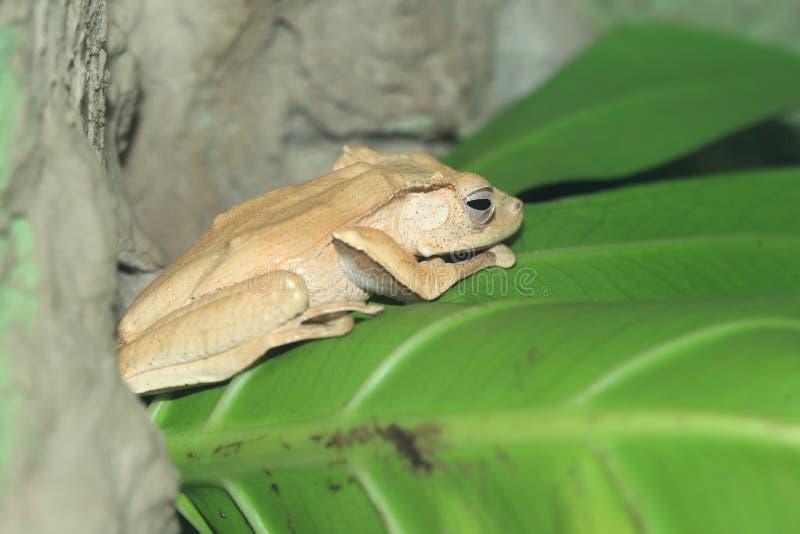 File-eared tree frog stock photo