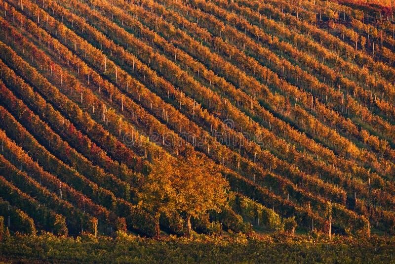 File variopinte delle viti della vigna Autumn Landscape With Colorful Vineyards ed albero Repubblica di Autumn Grape Vineyards Of fotografie stock