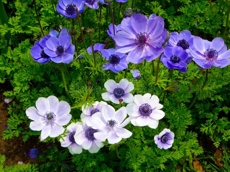 A filed of blue and white anemone flowers blooming stock image