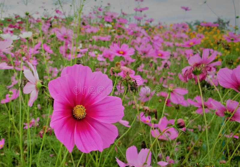 Filed on flowers. Cool light background beauty summer plant nature flowers fresh shadow green field pinkflower whiteflower garden cosmos garden green royalty free stock photos