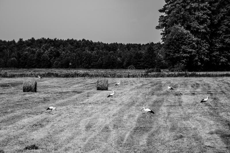 A field of storks royalty free stock photo