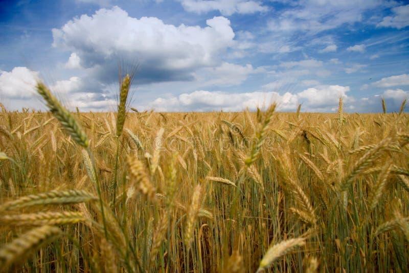 Filed of grain stock photos