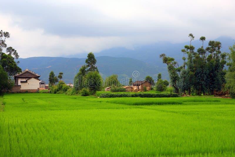 fileds ρύζι στοκ εικόνες με δικαίωμα ελεύθερης χρήσης