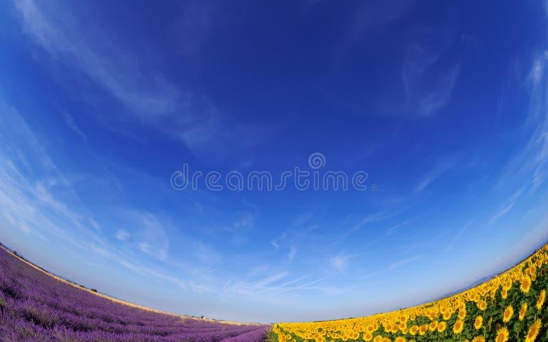 Fileds da alfazema e do girassol sob o céu azul imagem de stock royalty free