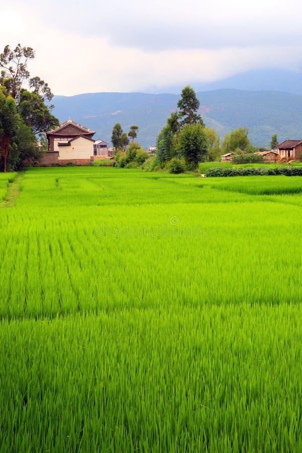 Download Fileds do arroz e foto de stock. Imagem de país, cottage - 10064908