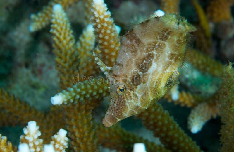 filefish λεπτός στοκ εικόνες