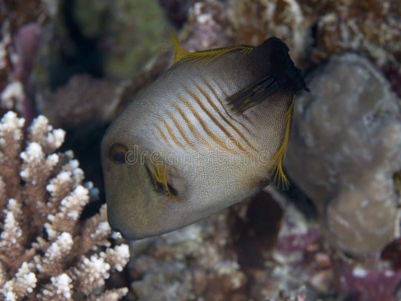 Filefish da vassoura foto de stock