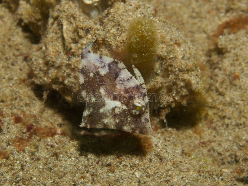 Filefish emaranhado imagens de stock royalty free