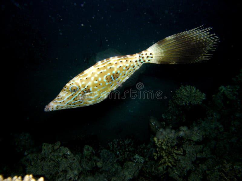Filefish garabateado en el filón coralino en la noche fotografía de archivo libre de regalías