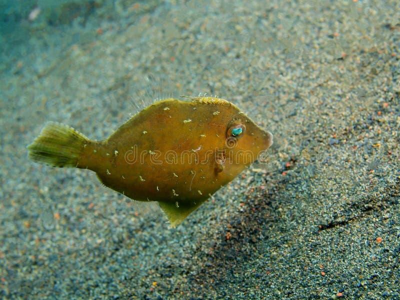 Filefish. The surprising underwater world of the Bali basin, Island Bali, Puri Jati, filefish stock photos