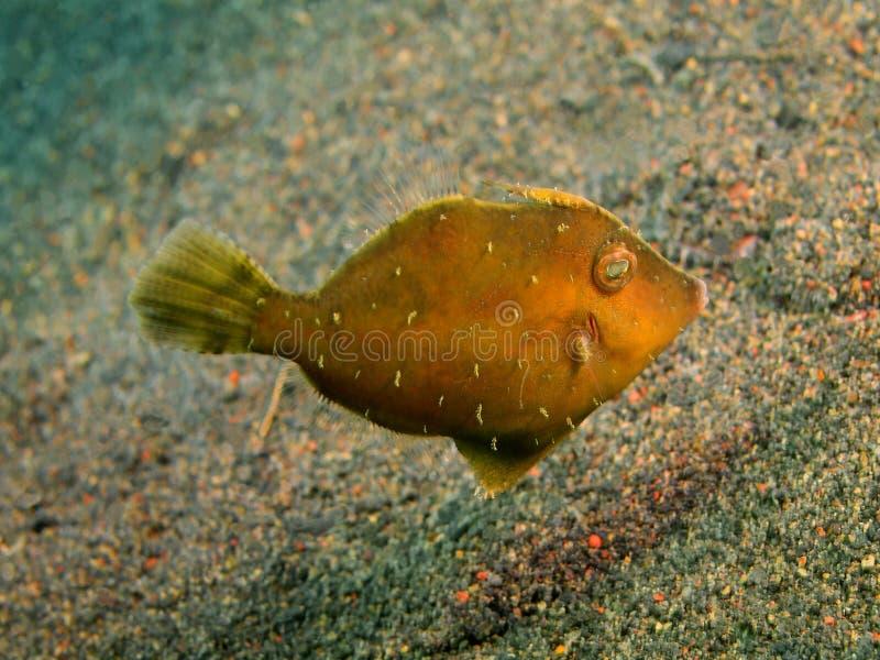Filefish. The surprising underwater world of the Bali basin, Island Bali, Puri Jati, filefish stock photo