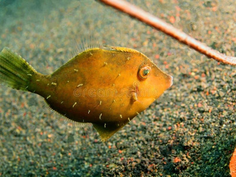 Filefish. The surprising underwater world of the Bali basin, Island Bali, Puri Jati, filefish stock photography