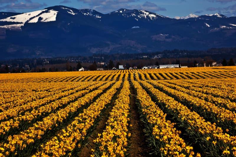 A fileira amarela do Daffodil da mola floresce Skagit foto de stock royalty free