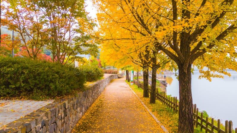 Fileira bonita da árvore amarela da nogueira-do-Japão ao longo da passagem perto do rio na cidade de Andong fotografia de stock