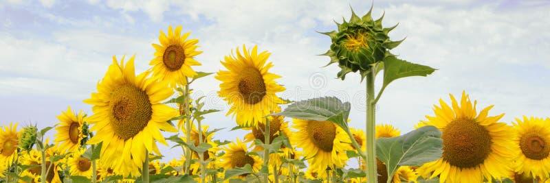 Fileira bonita de girassóis de florescência do amarelo e de um botão foto de stock royalty free