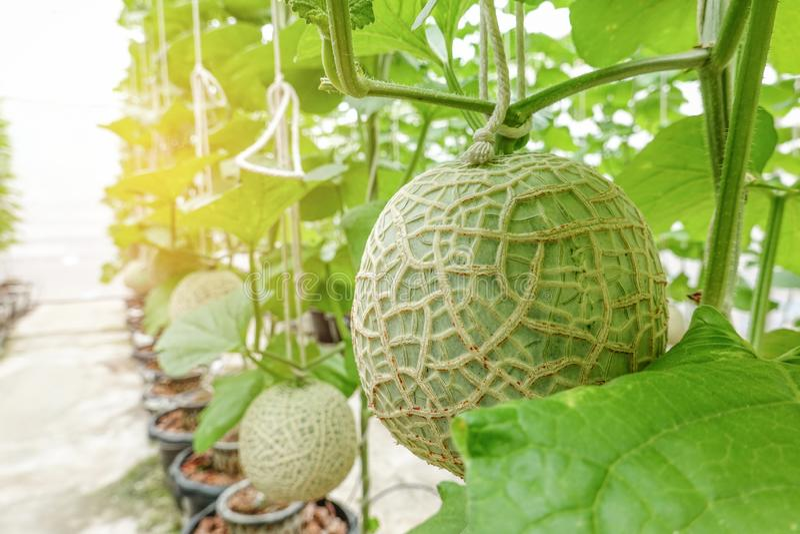 Fileira crescente da planta japonesa dos frutos do melão ou do cantalupo na exploração agrícola orgânica do jardim da árvore da e fotos de stock