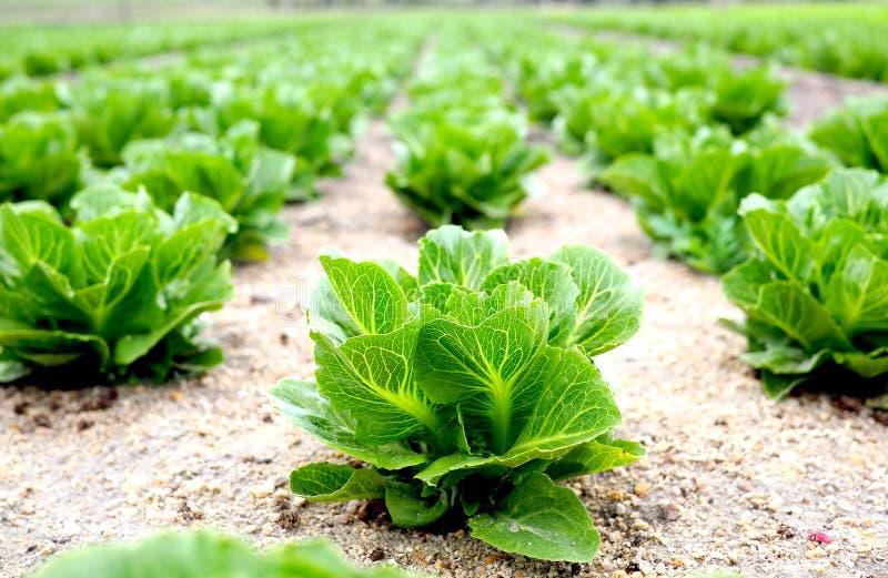 Fileira da alface fresca que cresce em uma exploração agrícola imagem de stock