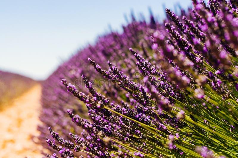 Fileira da alfazema de florescência em um dia ensolarado foto de stock