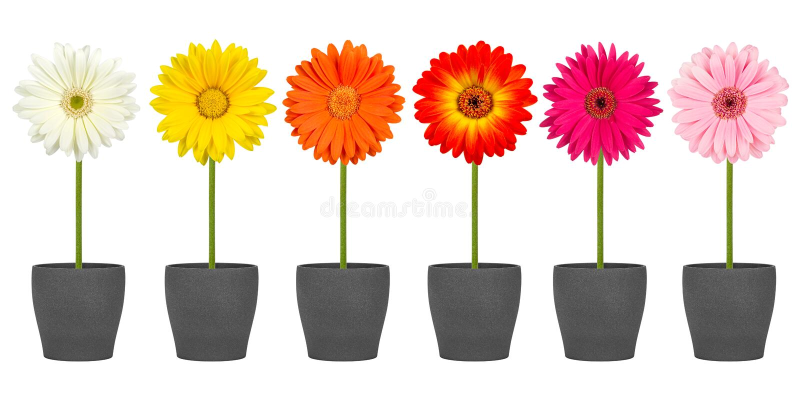 Fileira da flor do Gerbera imagem de stock
