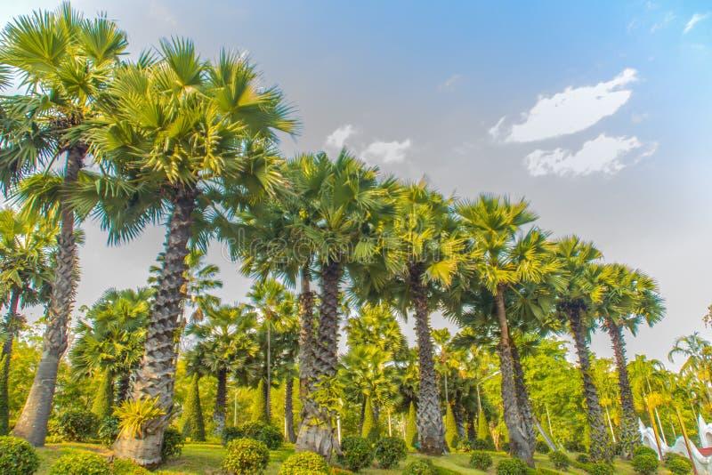 A fileira da palmeira do flabellifer do Borassus com folhas do verde e o fundo do céu azul na grama verde estacionam, sabido gera fotografia de stock