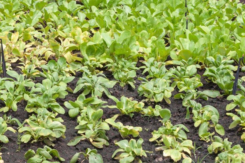Fileira da salada da alface no jardim fotos de stock royalty free