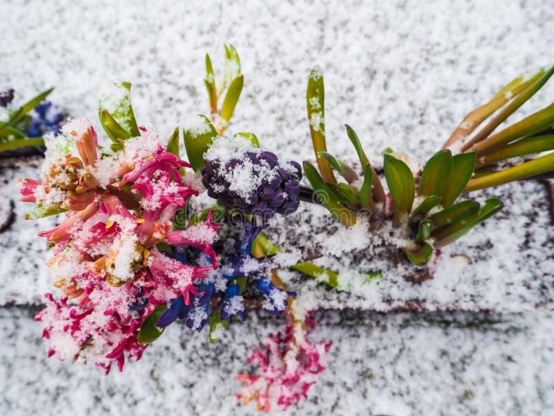 Fileira das flores roxas e cor-de-rosa vibrantes do jacinto cobertas com o sno imagens de stock