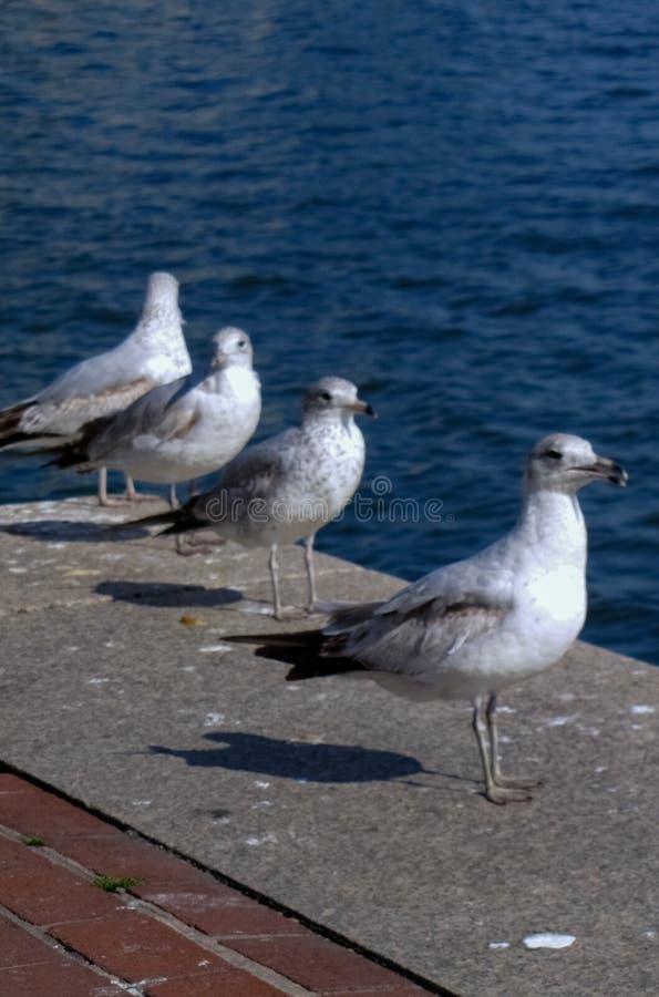 Fileira das gaivotas ao longo do cais foto de stock