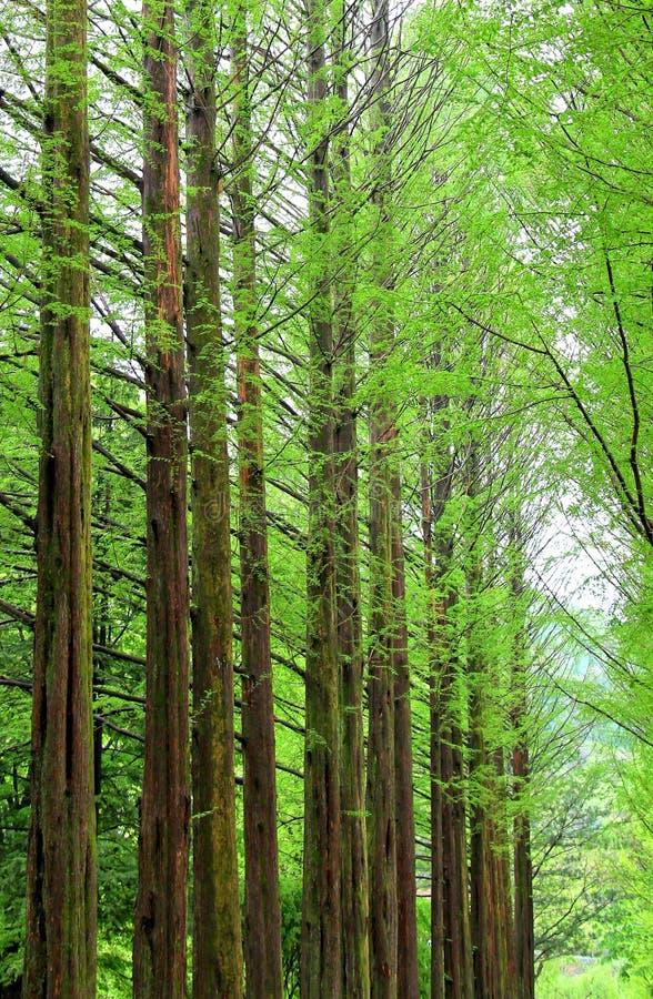 Fileira de árvores verdes da nogueira-do-Japão no parque em Namiseom ou em ilha do nami foto de stock