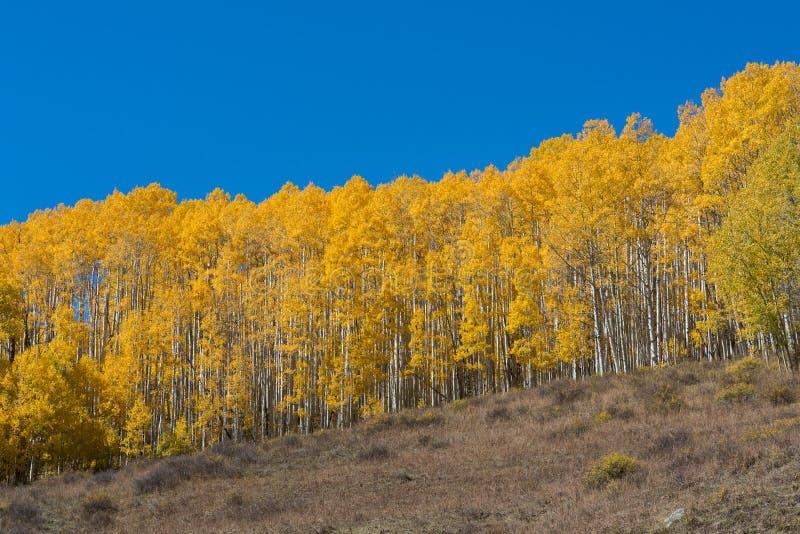 Fileira de Aspen Trees amarelo em Colorado fotos de stock royalty free