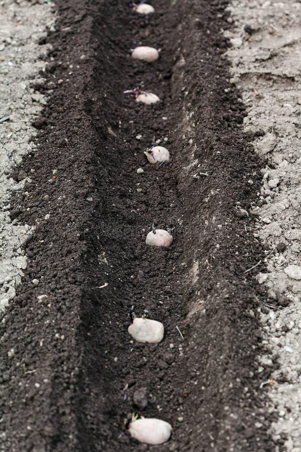 Fileira de batatas de semente no sulco imagem de stock