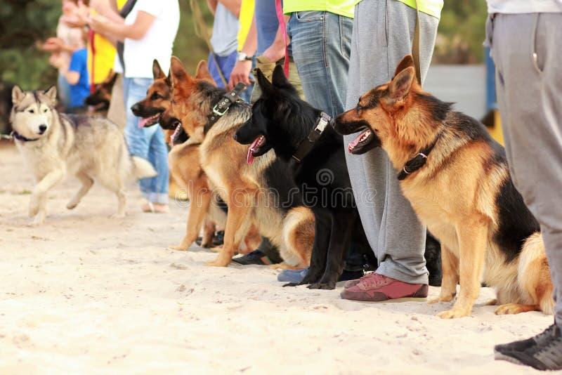 Fileira de cães-pastor alemães em trelas ao lado de seus proprietários na exposição do ` s do cão que olham o cão ronco sair imagens de stock