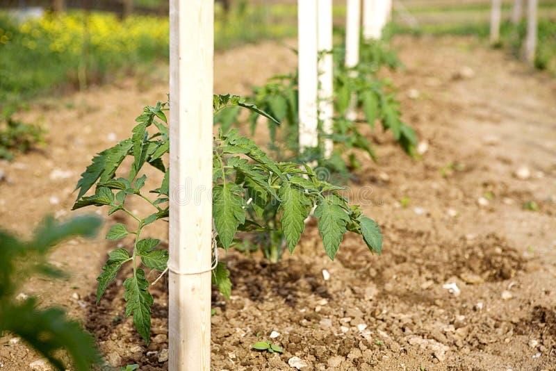 Fileira de plantas de tomate fotografia de stock royalty free